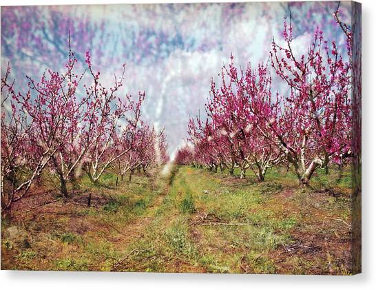 An Orchard In Blossom In The Golan Heights Canvas Print
