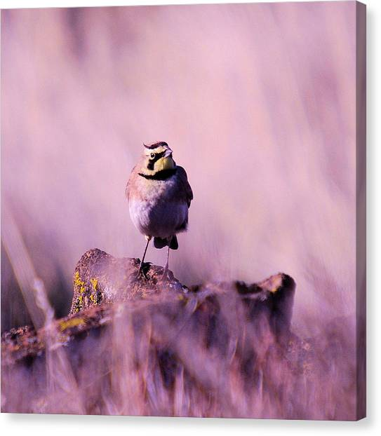 Meadowlarks Canvas Print - An Searching Gaze  by Jeff Swan