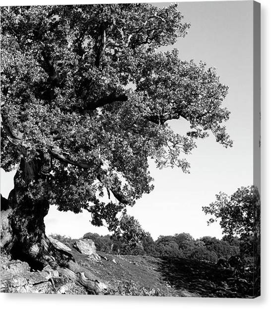Forests Canvas Print - Ancient Oak, Bradgate Park by John Edwards