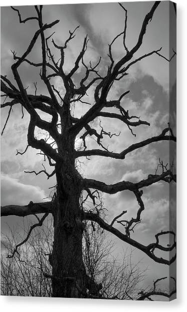 Ancient Oak Tree No. 4 Canvas Print