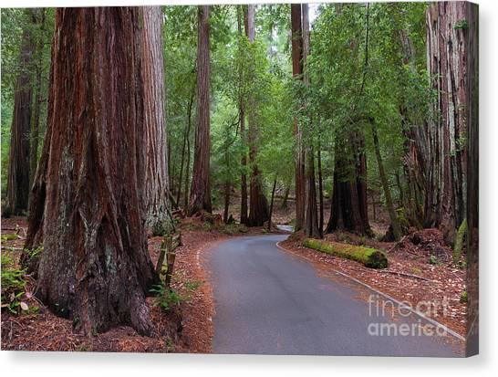 Ancient Redwoods Canvas Print