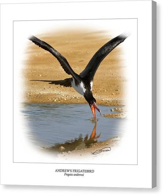 Andrews Frigatebird Fregata Andrewsi 4 Canvas Print by Owen Bell