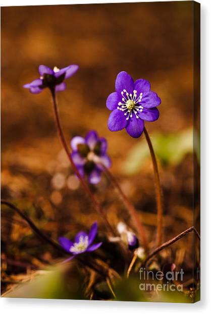 Anemone Hepatica Canvas Print