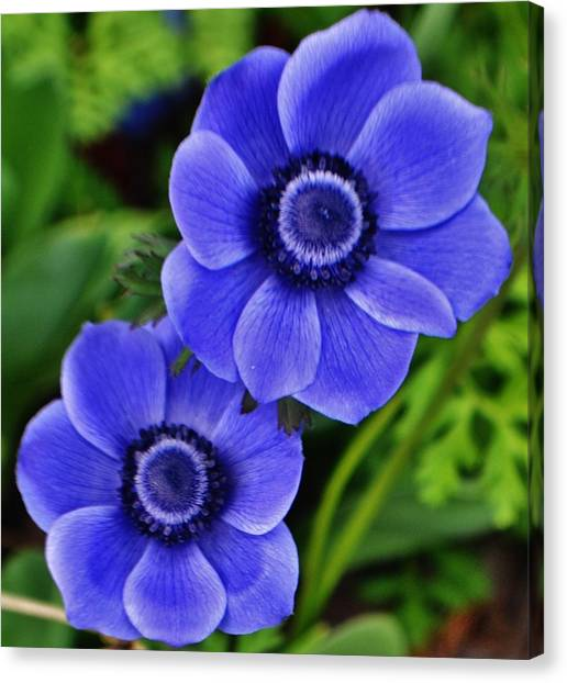 Anemone Nemorosa Canvas Print