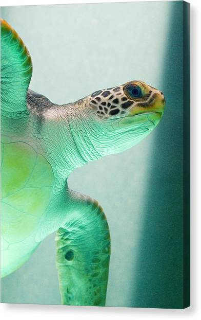 Turtles Canvas Print - Angel 2 by Skip Hunt