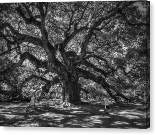 Angel Oak 002 Canvas Print
