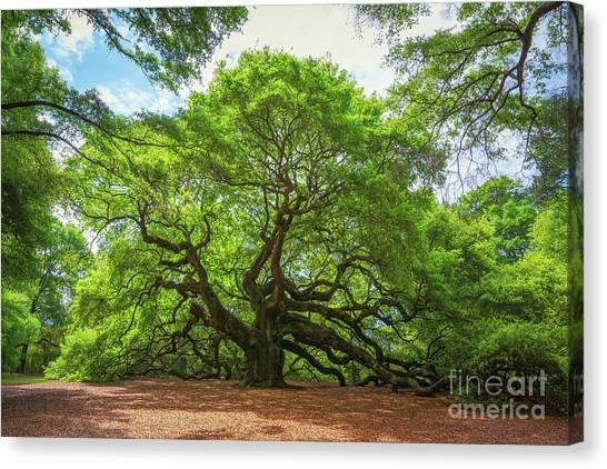 Angel Oak Tree In South Carolina  Canvas Print