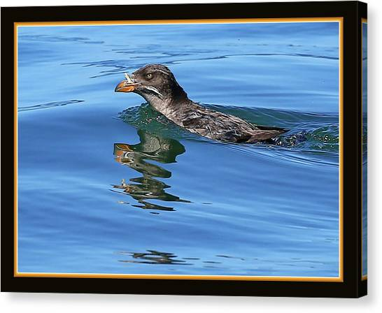 Auklets Canvas Print - Angry Bird by BYETPhotography