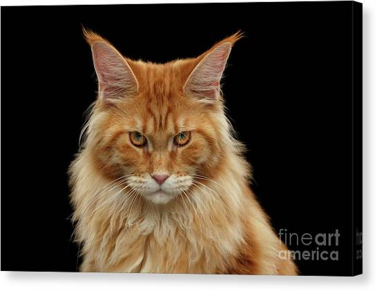 Cat Canvas Print - Angry Ginger Maine Coon Cat Gazing On Black Background by Sergey Taran
