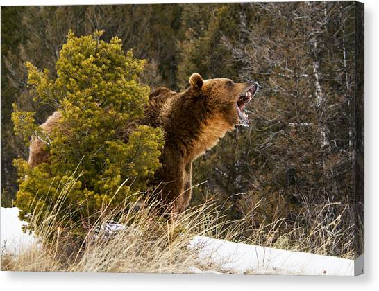 Angry Grizzly Behind Tree Canvas Print