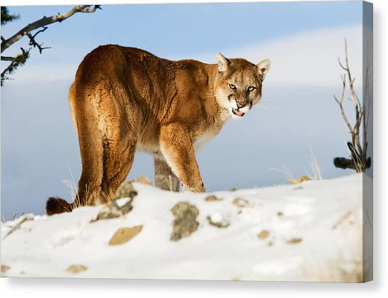 Angry Mountain Lion Canvas Print