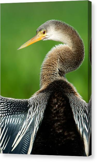 Anhinga Canvas Print - Anhinga Anhinga Anhinga, Pantanal by Panoramic Images