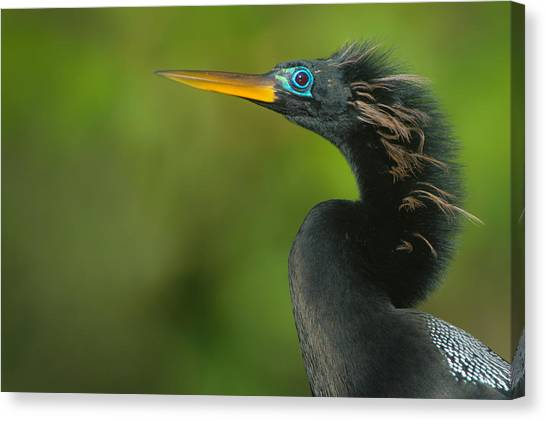 Anhinga Canvas Print - Anhinga Anhinga Anhinga, Tortuguero by Panoramic Images