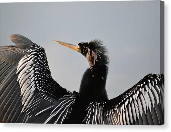 Anhinga Anhinga Portrait - Water Turkey Canvas Print