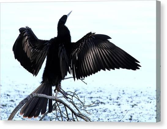 Anhinga Spread Eagle Canvas Print
