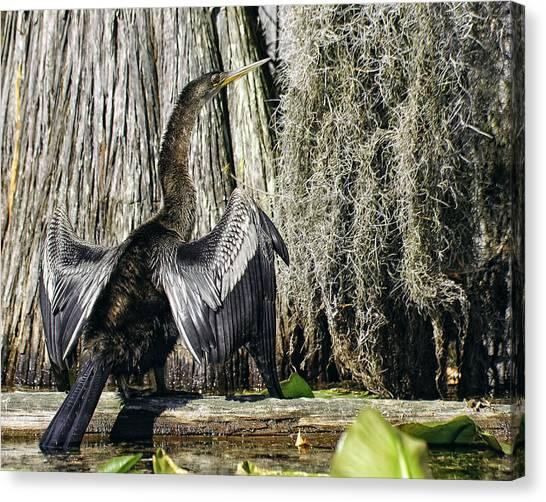 Anhinga Sunbathing In The Swamp Canvas Print