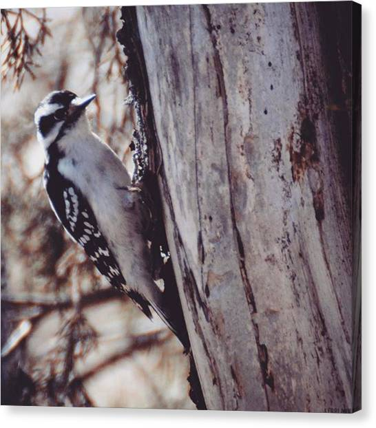 Woodpeckers Canvas Print - #animals #allmightybirds #allnatureshot by Kerri Ann Crau