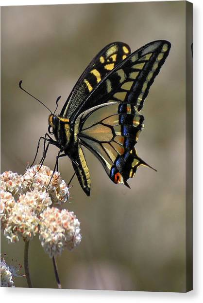 Anise Swallowtail Canvas Print