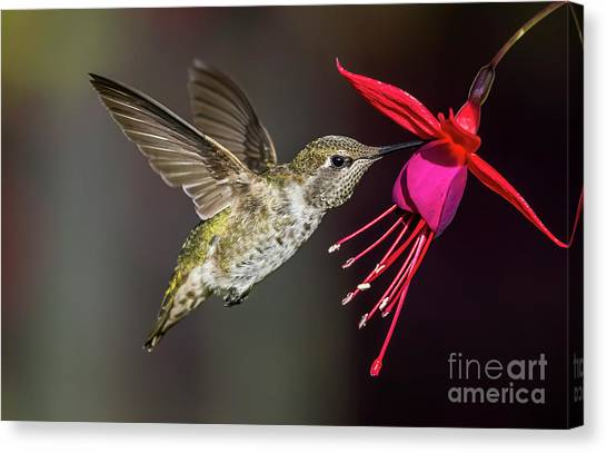 Anna Immature Hummingbird Canvas Print