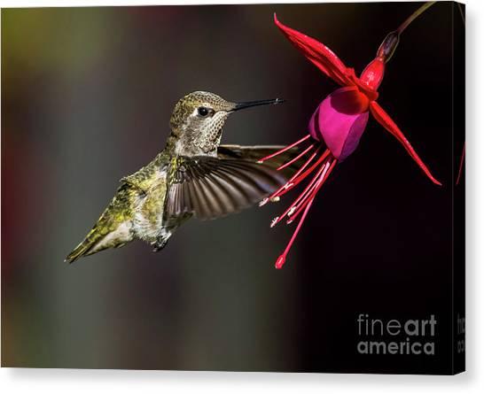 Anna Juvenile Hummingbird Canvas Print