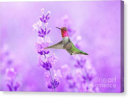 Annas Hummingbird Canvas Print - Anna's Hummingbird At Lavender Sprig by Laura D Young
