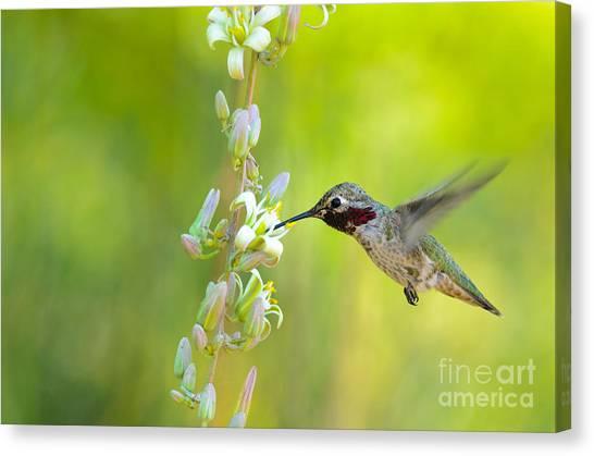 Anna's Hummingbird Canvas Print by Emily Bristor