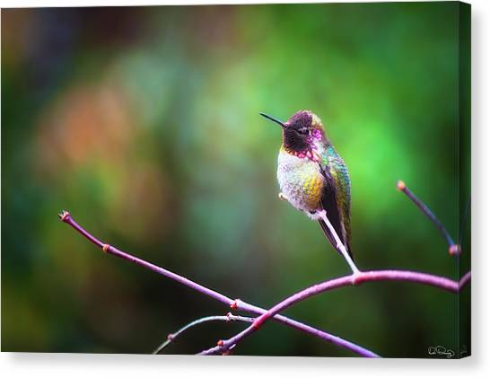 Anna's Hummingbird I Canvas Print