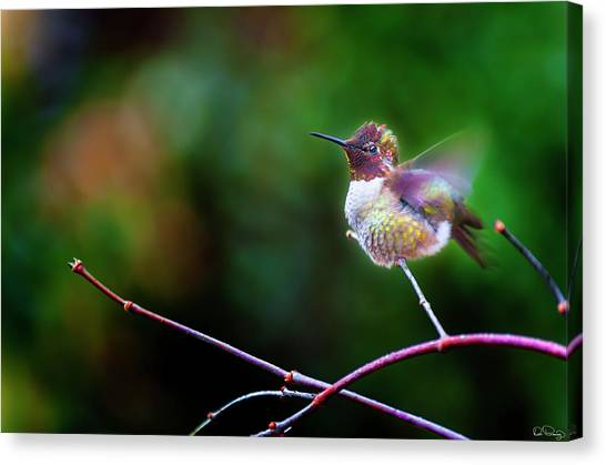 Anna's Hummingbird IIi Canvas Print