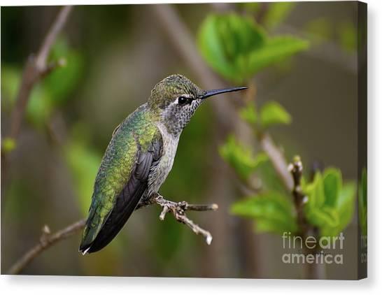Anna's Hummingbird On Lime Tree Canvas Print