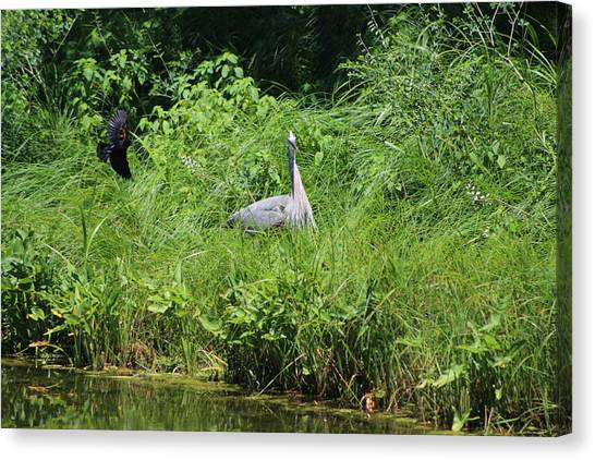 Annoyed - Heron And Red Winged Blackbird 1 Of 10 Canvas Print