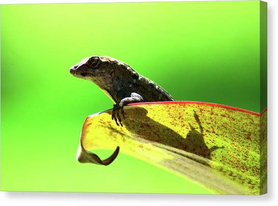 Anole In Green Canvas Print