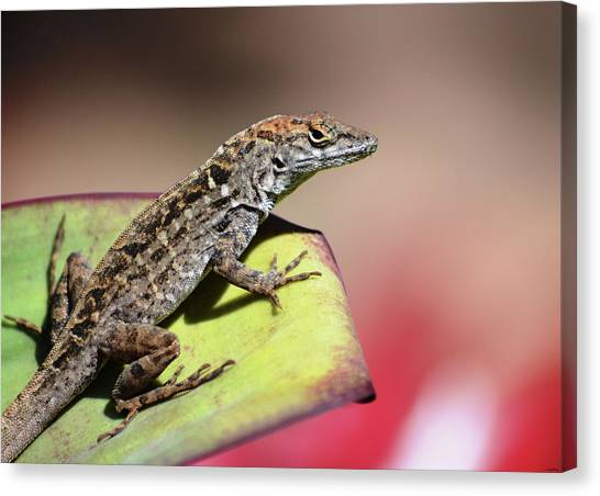 Anole In Rose Canvas Print