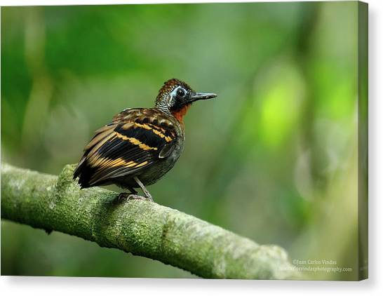 Starlings Canvas Print - Antbird by Jackie Russo