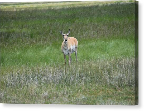 Prong Horned Antelope Lake John Swa Co Canvas Print