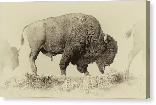 Yellowstone National Park Canvas Print - Antique Bison by Shane Linke