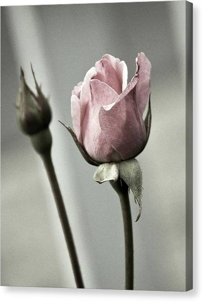 Antique Pink Rose Canvas Print by Marion McCristall