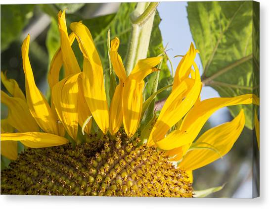 Ants On A Sunflower Canvas Print