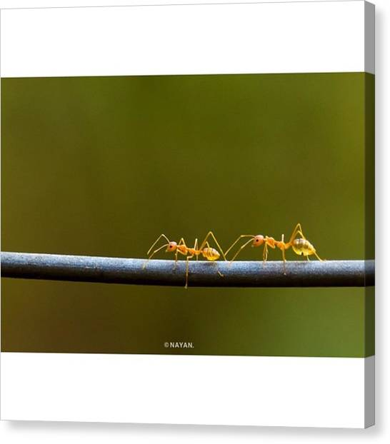 Ants Canvas Print - Antz!! While I Was Waiting For The by Nayan Hazra