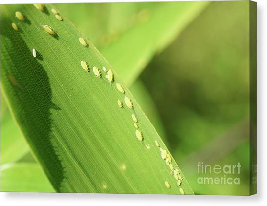 Aphid Family Canvas Print