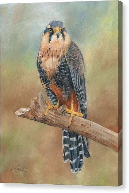 Falcons Canvas Print - Aplomado Falcon by David Stribbling