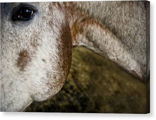 Canvas Print featuring the photograph Appaloosa 2 by Catherine Sobredo