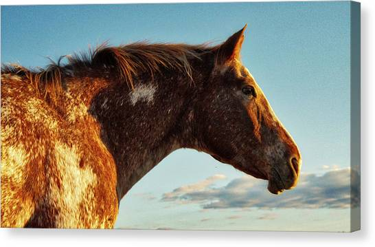 Appaloosa Mare Canvas Print