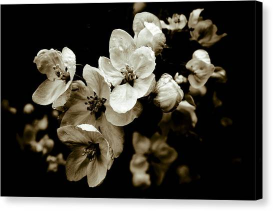 Apple Blossom Canvas Print by Frank Tschakert