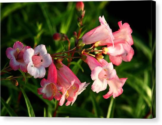 Apple Blossom Penstemon Canvas Print
