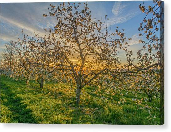 Apple Blossoms At Sunrise 2 Canvas Print