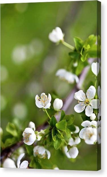 Spring Bloom Canvas Print - Apple Blossoms by Nailia Schwarz