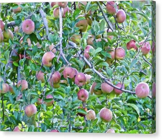 Apple Season Canvas Print