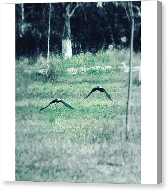 Lovebirds Canvas Print - @appletstag #birds #nature #bird by Viaruss Ut-Gella