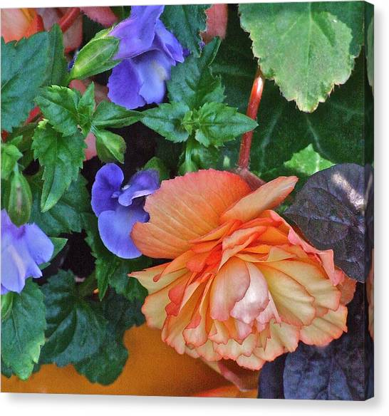 Apricot Begonia 1 Canvas Print