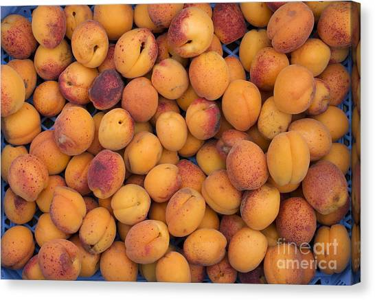 Vegetable Garden Canvas Print - Apricot Moorpark Harvest by Tim Gainey